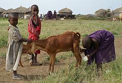 Maasai-Kinder melken eine Ziege